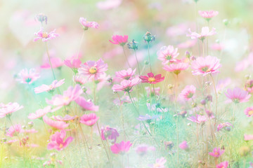 Wall Mural - Cosmos flower on pastel color background.