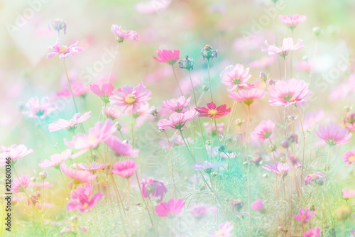 Wall mural Cosmos flower on pastel color background.