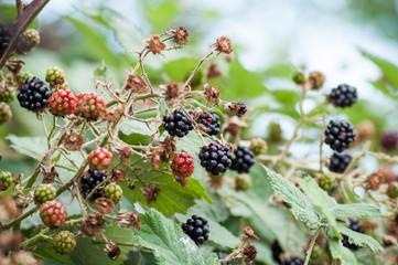 closeup of blackberries in the hedge