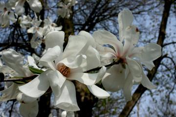 Magnolia Tight