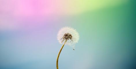 Poster Paardenbloem dandelion flower in nature, color background
