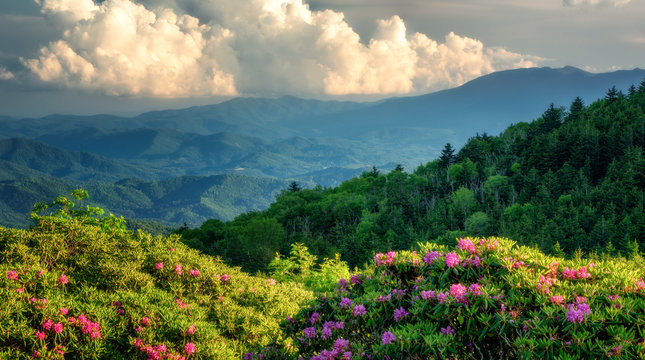 Roan Mountain Carvers Gap rhododendron blooming