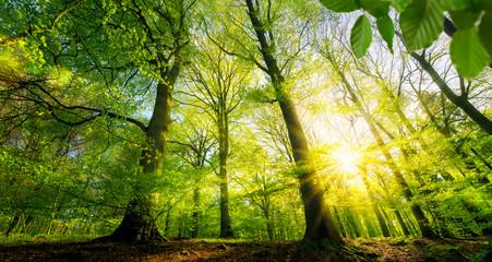 Wall Mural - Sonne scheint durch grüne Laubbäume im Wald