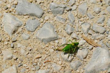 Macro di un grillo verde solitario