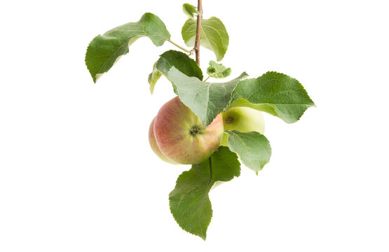 apple branch with apple isolated