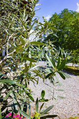 olive tree at south german bavarian garden house