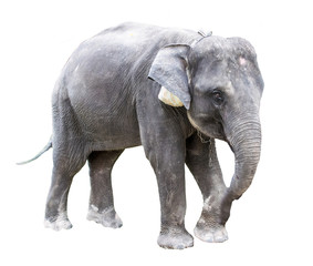 Elephant with white background with path