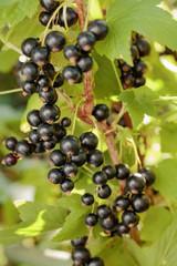 Blackcurrants on the bush branch.