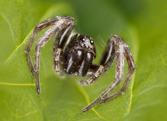 Very small wolf spider (Lycosidae)
