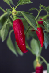 Canvas Prints Hot chili peppers Spicy red chili pepper with green leaves in a pot