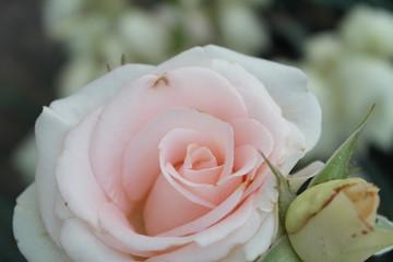 gently pink rose