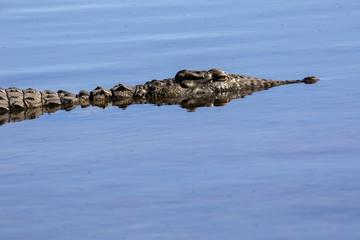 Nile Crocodile Crocodylus niloticus, Chobe National Park, Botswana