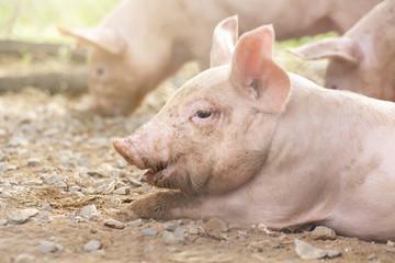 New born pig or cute on a farm.
