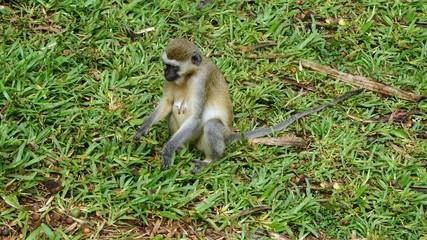 monkey in kenya