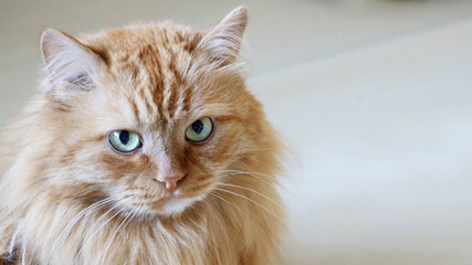 adult red cat with green eyes and serious look