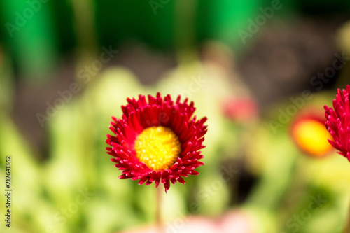 Red Small Flower With Yellow Center Delicate Flowers Of Daisy
