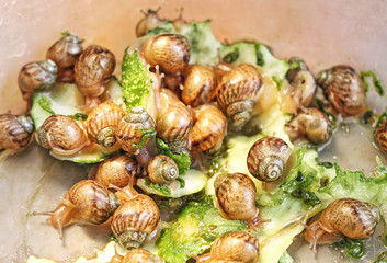 Group of little Achatina snails.