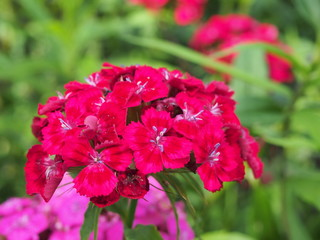 Bunches of Chinese carnation buds. Garden flowers. Gardening.