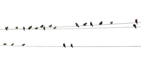 A flock of sparrows sitting on wires on a white background