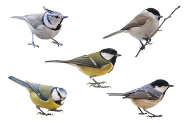 Titmouse European collection, isolated with white background
