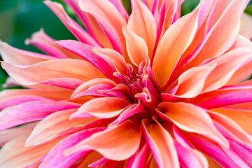 Deurstickers Dahlia Labyrinth decorative dinnerplate dahlia close up.