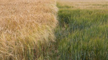 Two types of barley, ripe and unripe