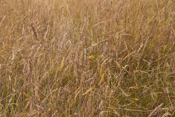 Dry meadow grass