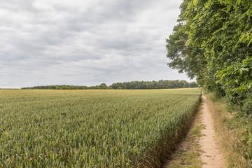 Public footpath through a field of wheat