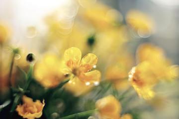 Bouquet of buttercups close up.