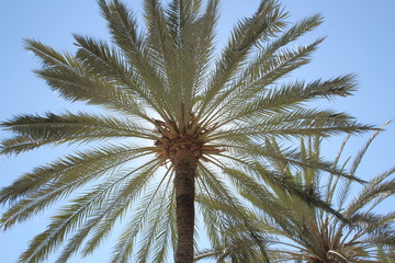 Date palm against the blue sky