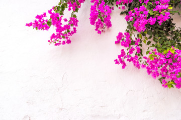 beautiful spanish Bougainvillea flowers on white wall