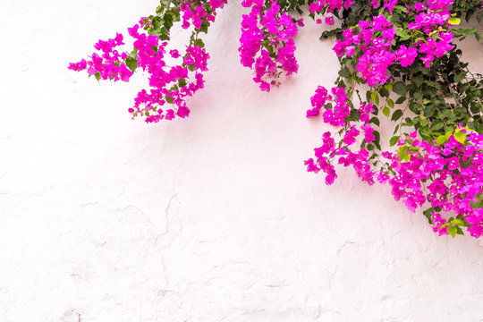 beautiful spanish Bougainvillea flowers on white wall