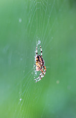 Spider sits on his net on a green meadow.