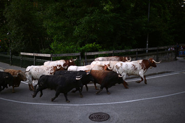 Six fighting bulls from the Fuente Ymbro ranch run up the street prior to the following day's bull run during the Encierrillo on the fourth day of the San Fermin festival in Pamplona