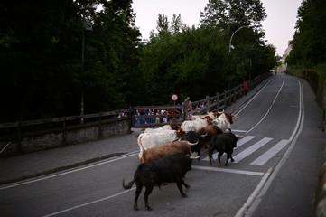 Six fighting bulls from the Fuente Ymbro ranch are led up the street bt steers prior to the following day's bull run during the Encierillo on the fourth day of the San Fermin festival in Pamplona