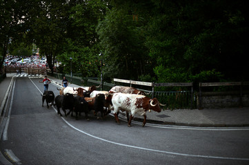 Six fighting bulls from the Fuente Ymbro ranch are led up the street by steers prior to the following day's bull run during the Encierillo on the fourth day of the San Fermin festival in Pamplona