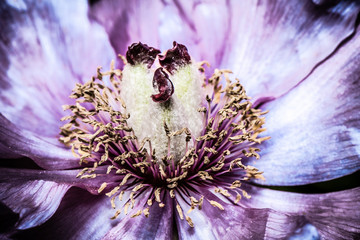 Artistic background for desktop wallpaper. Abstract macro photography. Pink purple flower in dark shades.