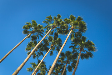 Angle perspective of group of tall thin palm trees on blue sky background. Summer vacation, travel destination concept. Vintage effect