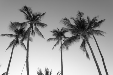 Palm trees from below on clear sky. Summer holidays destination concept. Black and white photography