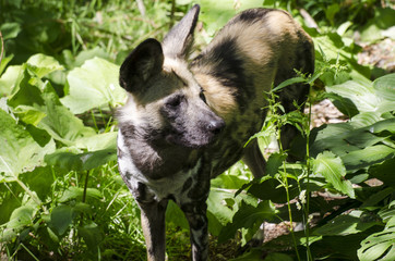 Close Up of a Painted Dog
