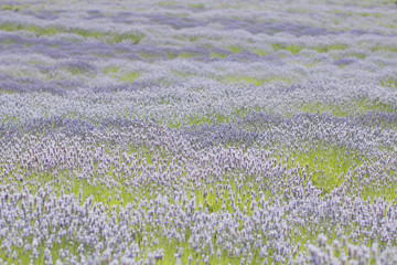 Rolling fields of Lavender blooms