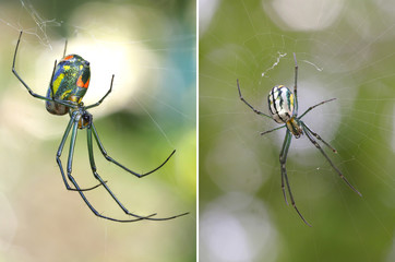 Two Focus Stacked Images of Venusta Orchard Spider one from Top the Other from Below