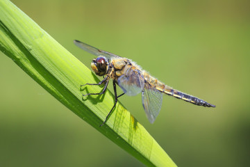 Close-up of a four-spotted chaser dragonfly insect, Libellula quadrimaculata