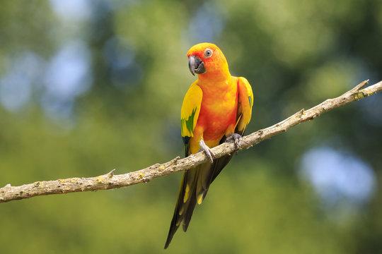 Closeup of sun parakeet or sun conure Aratinga solstitialis, bird.