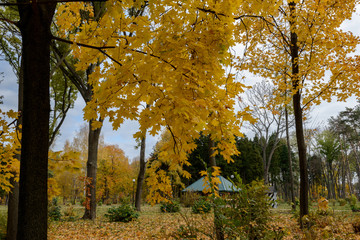 Maple in the background of mighty fir trees. Golden autumn, the most beautiful time of the year