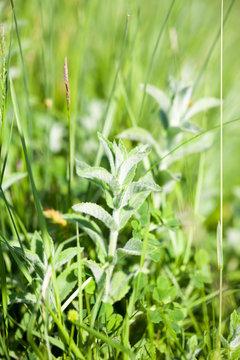 Mentha pulegium (wild mint) plant on the field
