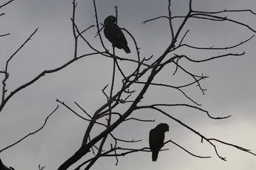 Papagaios nos galhos