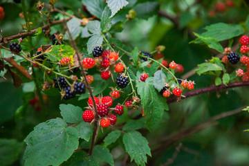 Close Up of Wild Raspberries