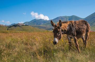 Ritratto di un asino al pascolo a Castelluccio di Norcia