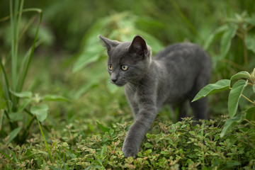 shorthair gray kitten in nature environment